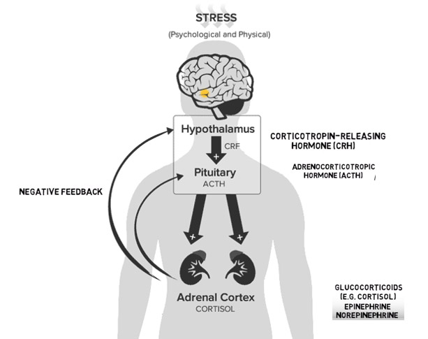 The Endocannabinoid system and stress response (implication in fatigue and burn-out)