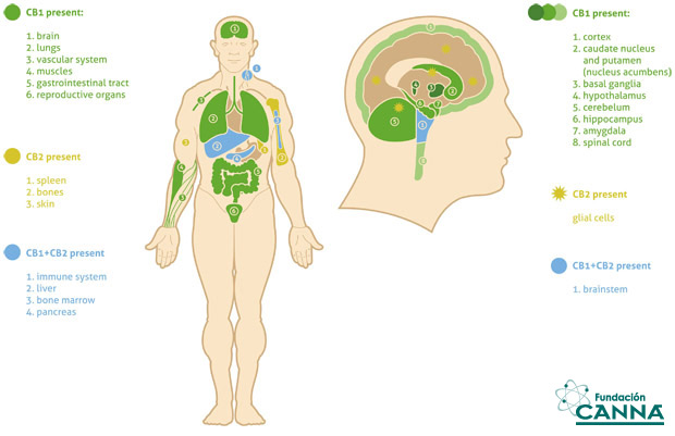 the endocannabinoid system | fundación canna: scientific studies, Muscles