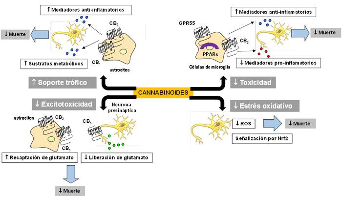 Hacia un tratamiento con cannabinoides para las enfermedades neurodegenerativas