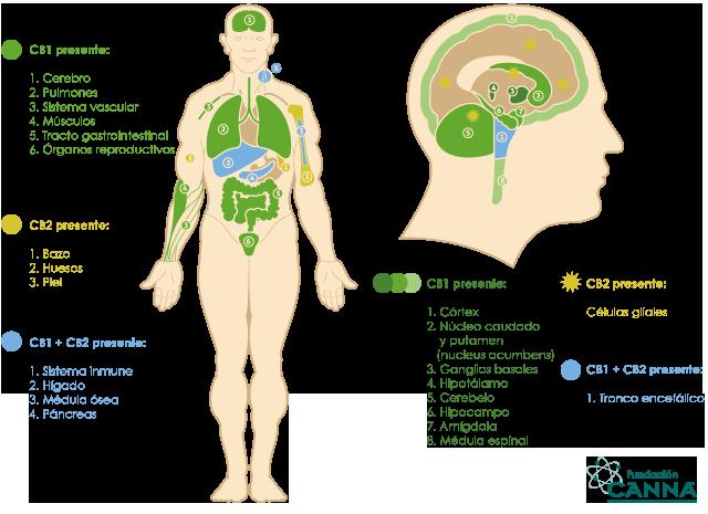 Que son y como trabajan los cannabionoides del cannabis